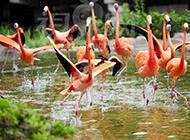 成群的野生火烈鸟图片