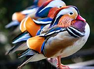 鹦鹉孔雀世界地理动物图片