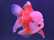 兰寿金鱼图片可爱逗人