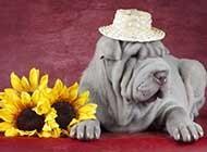 沙皮狗可爱高清动物图片