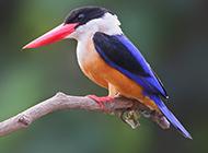 羽色華麗的廣西荊棘鳥圖片