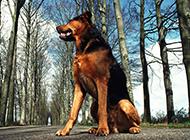 忠誠勇敢的德國狼犬圖片