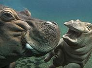 学游泳的可爱小河马图片