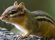 可爱呆萌的花栗鼠动物图片