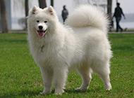 薩摩耶犬幼犬頑皮吐舌圖片