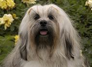 长毛拉萨犬优雅户外写真图片