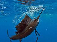 兇猛食肉魚類太平洋旗魚圖片