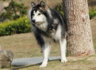 寵物狗阿拉斯加犬圖片大全