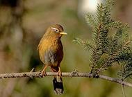 栖息枝头的可爱画眉鸟图片