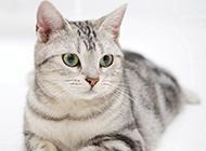 最漂亮的美国短毛猫图片欣赏