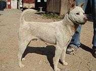 白色聰明中華田園犬圖片