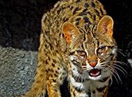 成年的豹貓兇猛發狠圖片