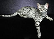 埃及貓圖片神態慵懶可愛