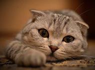 超萌貓咪圖片 逗趣的蘇格蘭折耳貓
