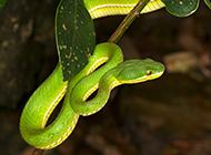 盤曲樹干的可怕亞馬遜蟒蛇圖片