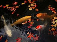湖泊嬉戲的中華錦鯉圖片