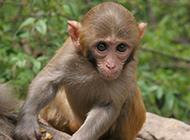 小川金丝猴可爱抓拍图片