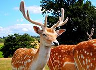 梅花鹿大自然优美写真图片