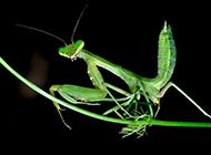 身手矫捷的肉食性绿色昆虫螳螂图片