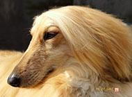 阿富汗獵犬頭部特寫圖片大全