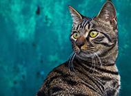 動作敏捷的純種貍花貓圖片