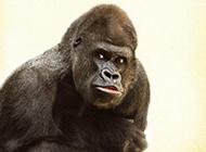 搞笑大猩猩图片高清特写