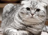 呆萌的動物折耳貓圖片大全