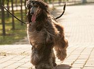 純種奔跑的阿富汗獵犬圖片