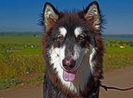 大型阿拉斯加犬圖片欣賞