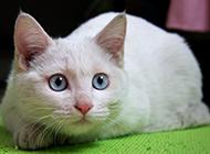 普通藍眼白貓趴著的圖片