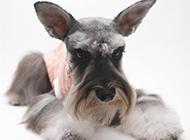 毛發柔軟的蘇格蘭梗犬圖片