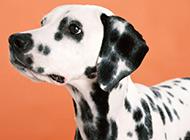 表情诚恳乖巧的大麦町犬图片