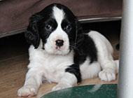 史宾格犬可爱眼神图片