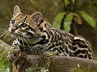 黑色斑点的野生豹猫图片