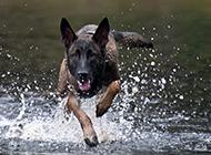 黑色马犬健步如飞图片