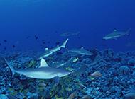 海底暢游的小鯊魚圖片