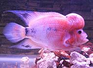 珍珠罗汉鱼水底嬉戏图片