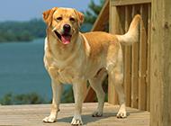 純種黃色拉布拉多犬圖片