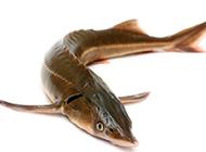 中華鱘魚形態威猛的圖片