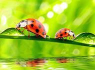 常见的昆虫七星瓢虫图片特写