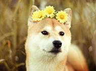 最漂亮日本秋田犬唯美圖片壁紙
