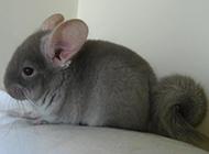 安静温顺的南美洲栗鼠图片