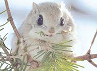 保护动物可爱的小飞鼠图片