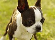 活潑萌寵波士頓梗犬高清圖片