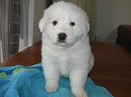 毛茸茸的大白熊犬幼犬圖片