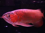 瀕臨絕種的頂級紅龍魚圖片
