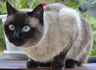 品象较好的暹罗猫图片欣赏