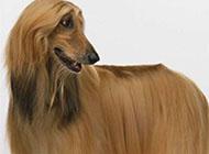 阿富汗猎犬搞笑表情图