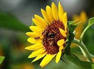 忙碌的蜜蜂特写高清图片