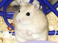 小型寵物白布丁倉鼠圖片